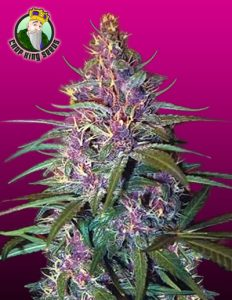 Purple Kush Crop King